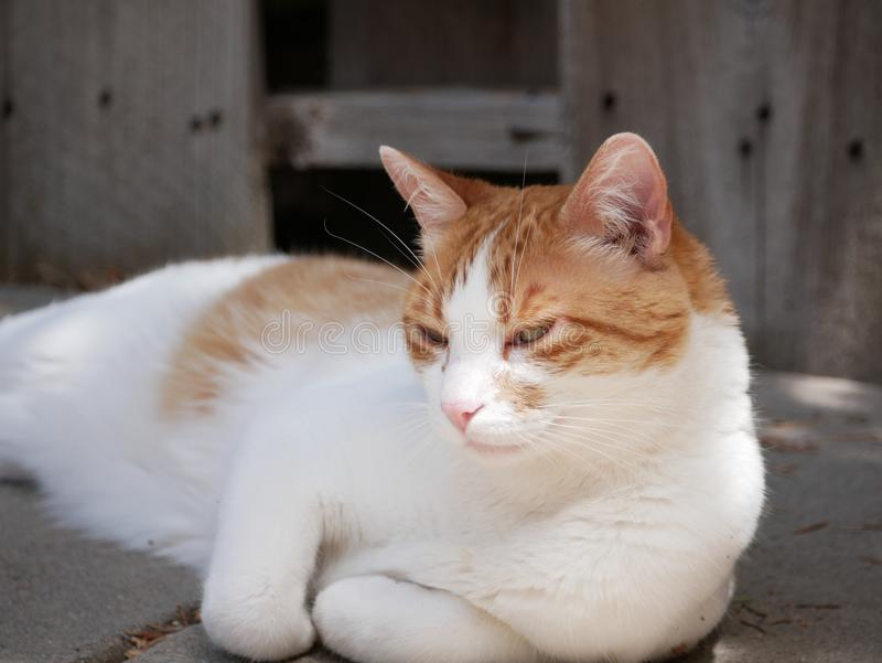 Gato alaranjado e branco que relaxa fora fotografia de stock royalty free