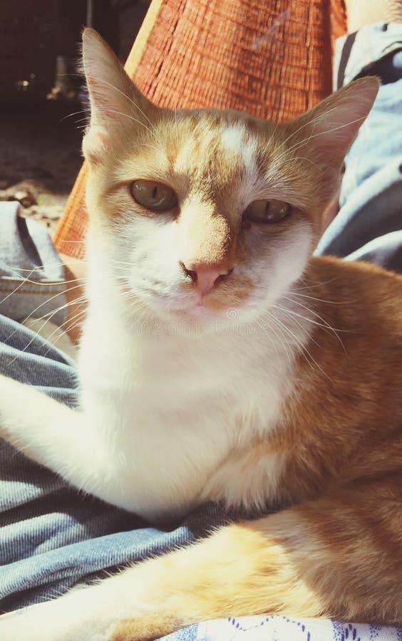 gato alaranjado que olha a câmera fotografia de stock royalty free