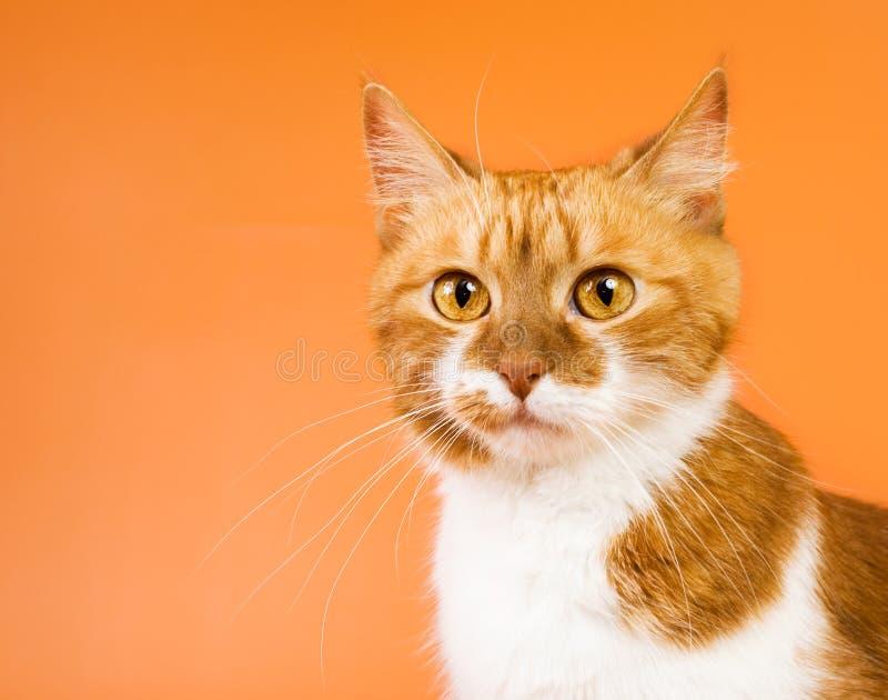 Gato alaranjado surpreendido fotografia de stock royalty free