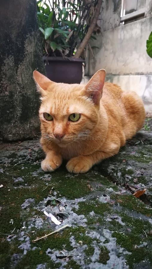 gato alaranjado tailandês fotografia de stock royalty free