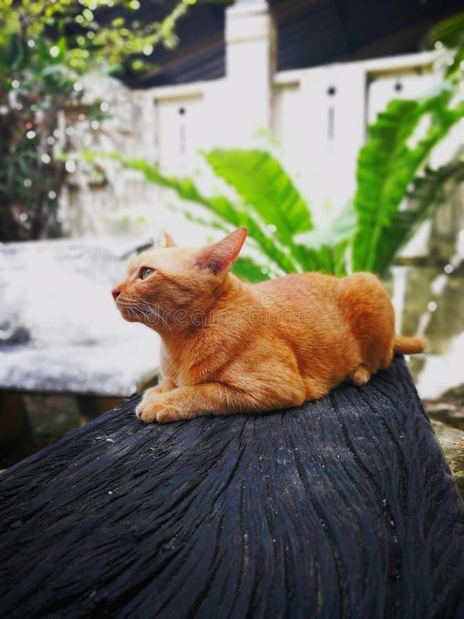 gato alaranjado tailandês fotos de stock royalty free
