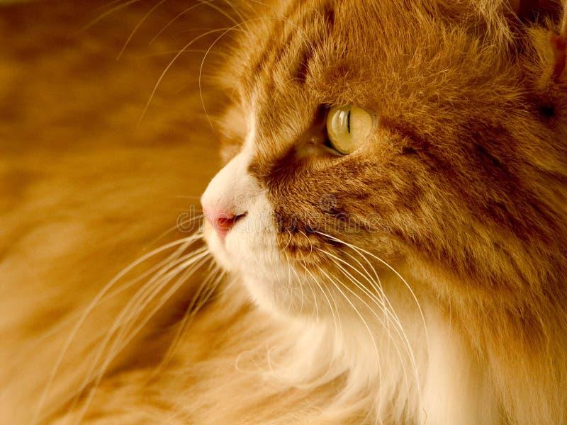 Gato amarelo. fotografia de stock