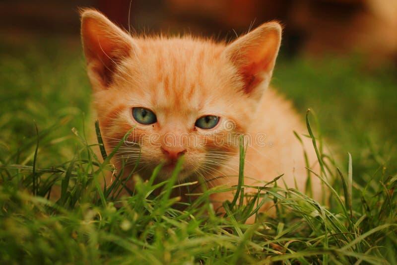 Download Gato amarelo imagem de stock. Imagem de campo, coma, cultivar - 29847101