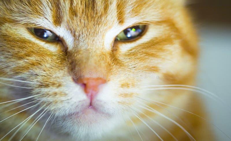 Gato amarillo con aire satisfecho foto de archivo