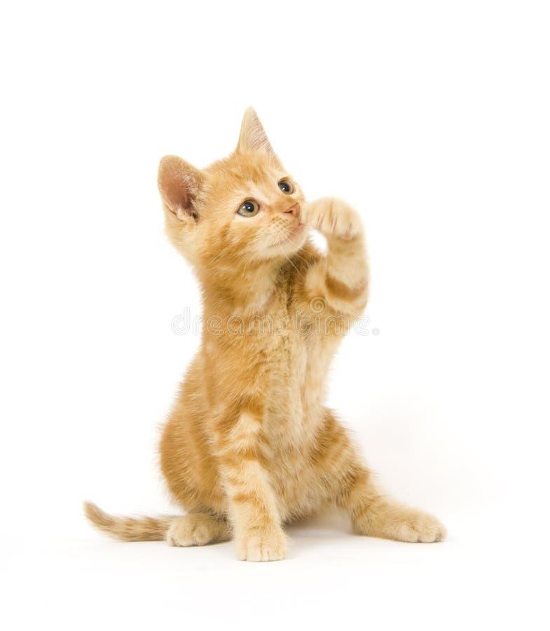 Gato amarillo que hace pivotar en el juguete foto de archivo