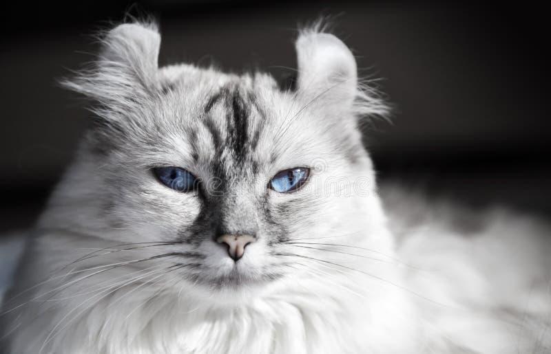 Gato americano branco da onda com olhos azuis imagens de stock
