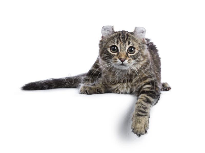 Gato americano da onda do gato malhado preto do tortie imagens de stock royalty free