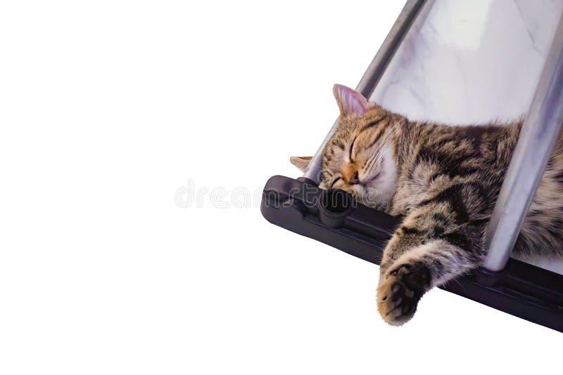 Gato americano del pelo corto, gato del cervatillo que duerme bajo línea de ropa en el fondo blanco fotografía de archivo