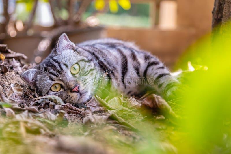 Gato americano do cabelo curto do animal de estimação bonito do cutie do gato que aprecia em um jardim imagem de stock royalty free