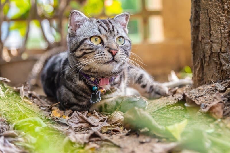 Gato americano do cabelo curto do animal de estimação bonito do cutie do gato que aprecia em um jardim imagem de stock