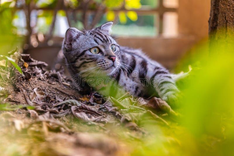 Gato americano do cabelo curto do animal de estimação bonito do cutie do gato que aprecia em um jardim fotos de stock