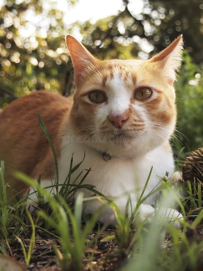 Gato anaranjado en el jardín imagenes de archivo