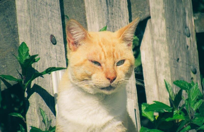 Gato anaranjado permanente con los párpados semicerrados imágenes de archivo libres de regalías