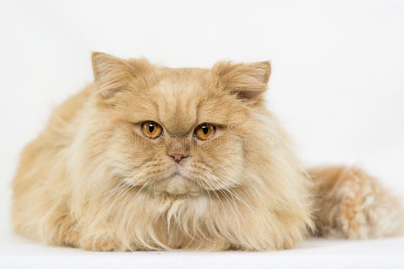 Gato anaranjado persa aislado imágenes de archivo libres de regalías
