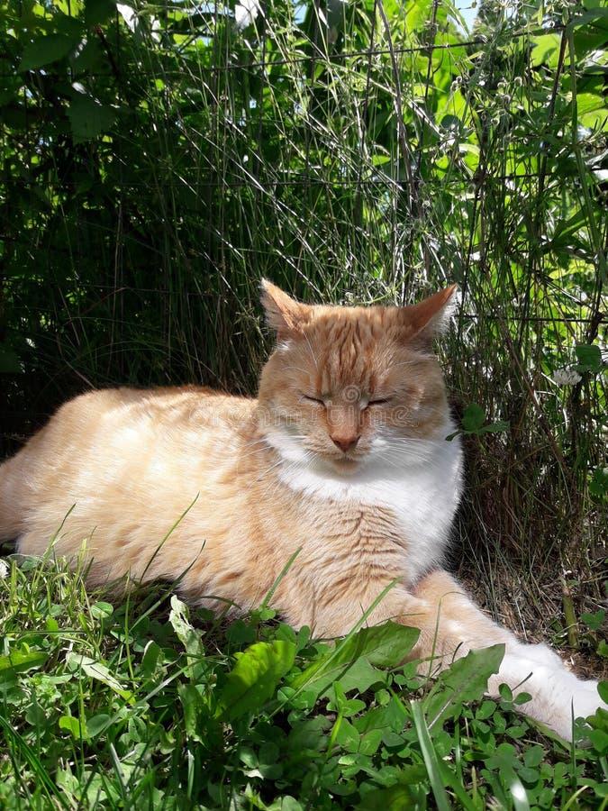 Gato anaranjado y blanco que se relaja y que oculta del sol fotografía de archivo libre de regalías