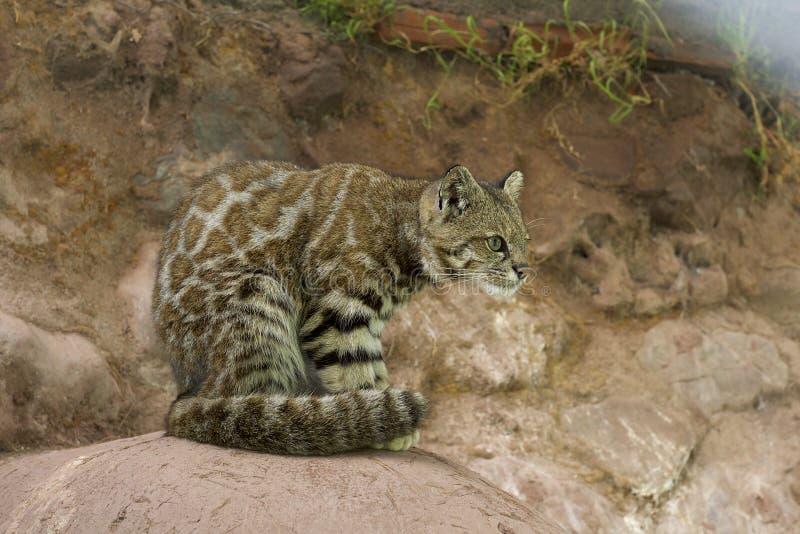 Gato andino de la montaña imagenes de archivo