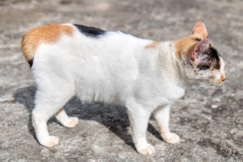 Gato asiático en el monasterio budista, Laos imagen de archivo libre de regalías