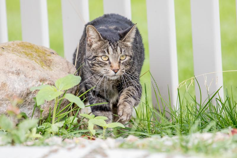 Gato astuto que se escabulle en la yarda a través de la cerca para cazar pájaros imagen de archivo libre de regalías