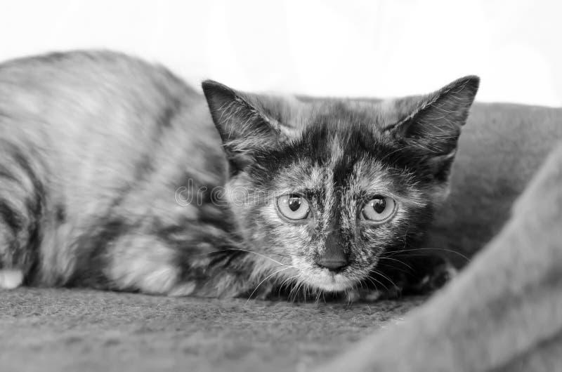 Gato asustado que miente en un sofá que mira directamente la cámara imagenes de archivo