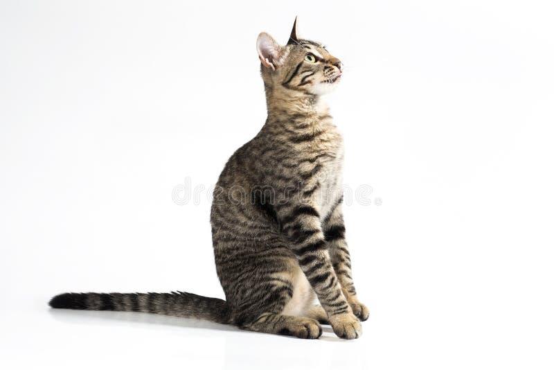 Gato atento que se sienta en una vista lateral sobre un fondo blanco foto de archivo libre de regalías