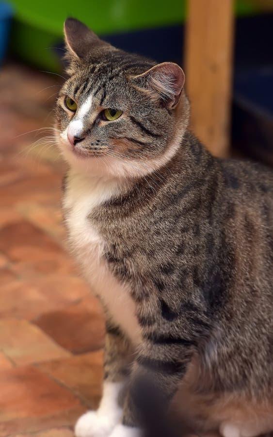 gato atigrado con el gato blanco fotos de archivo