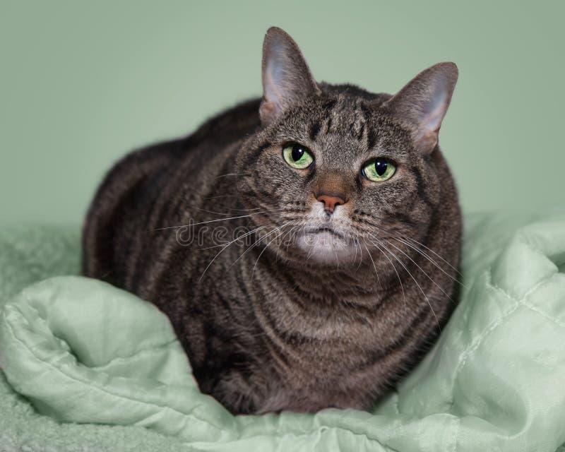 Gato atigrado gris gordo en la manta verde foto de archivo libre de regalías