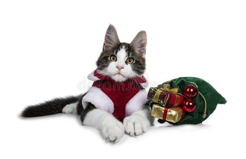 Gato atigrado negro dulce con los paños de la Navidad de Maine Coon que llevan del gatito blanco del gato, aislados en el fondo b fotos de archivo