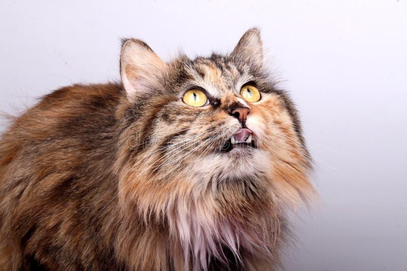 Gato atraído imagen de archivo