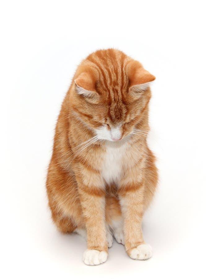 Gato avergonzado imagen de archivo libre de regalías