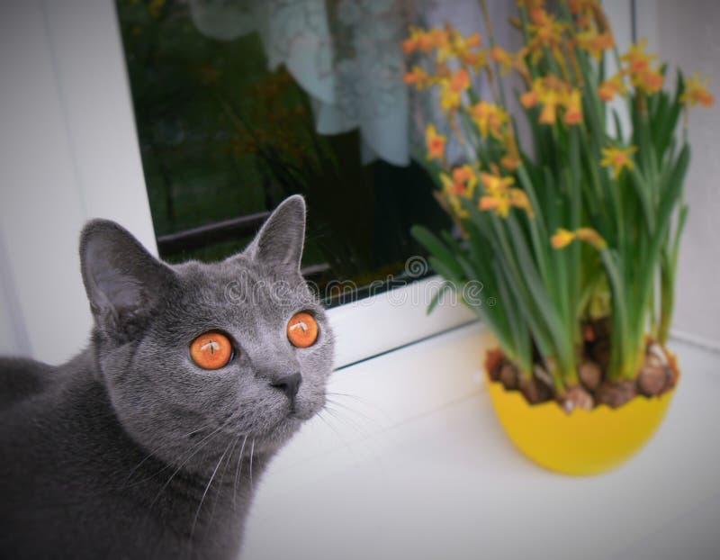 Gato azul britânico fotografia de stock royalty free