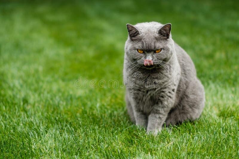 Gato azul britânico bonito de Shorthair imagens de stock