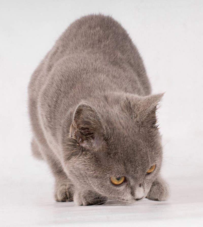 Gato azul del cortocircuito-pelo británico lindo hermoso que huele algo en el fondo blanco foto de archivo libre de regalías