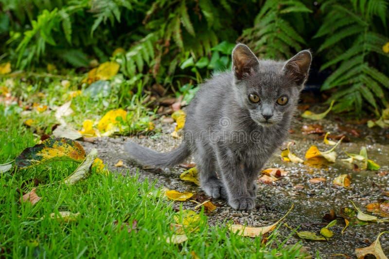Gato azul do russo que anda através de um jardim com grama, folhas e samambaias fotos de stock royalty free