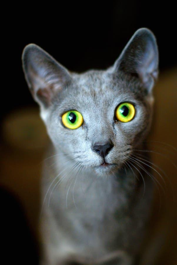 Gato azul ruso foto de archivo