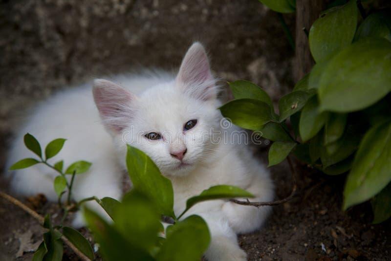 Gato blanco foto de archivo