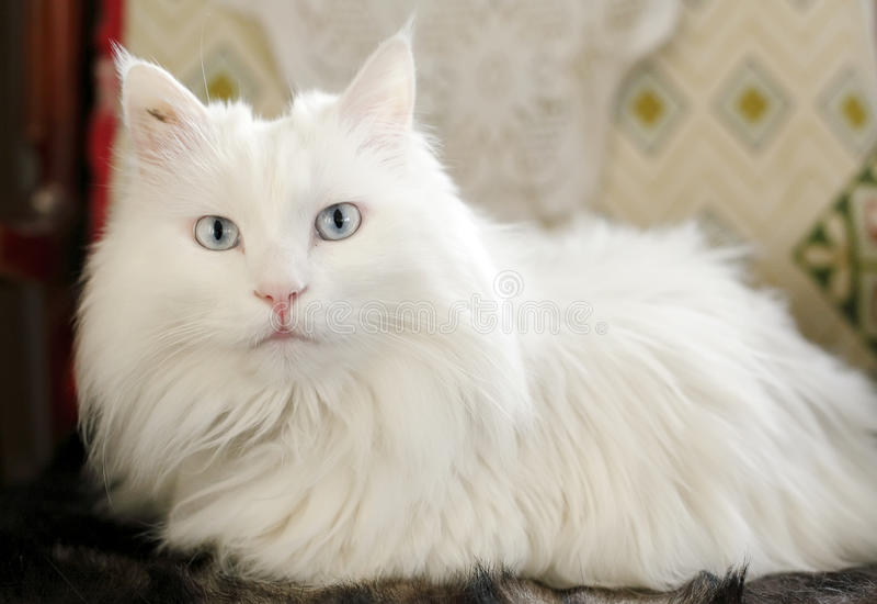 Gato blanco de interior. imagenes de archivo