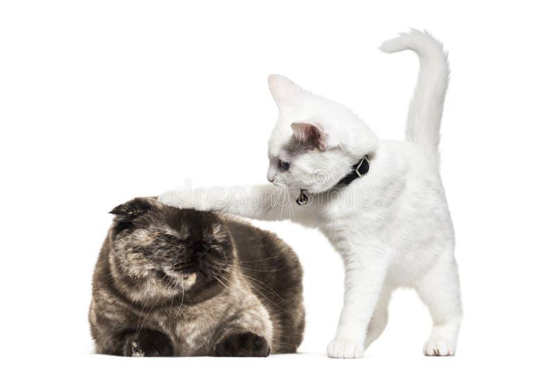 Gato blanco de la mezclado-raza del gatito que juega con otro gato, aislado fotos de archivo libres de regalías