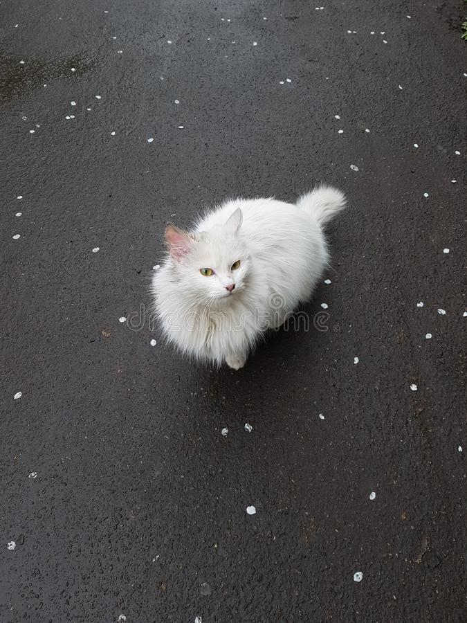 Gato blanco de la nieve foto de archivo