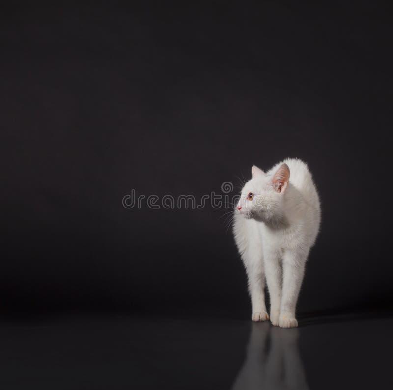 Gato blanco en negro imagen de archivo libre de regalías