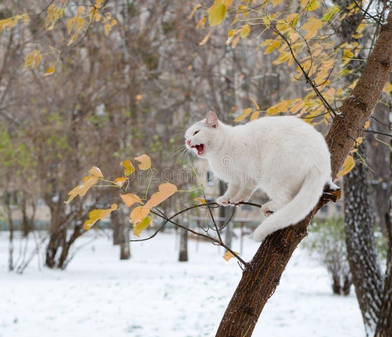Gato blanco enojado en un árbol que grita el griterío imagenes de archivo
