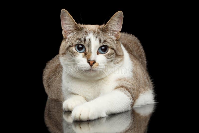 Gato blanco lindo, ojos azules, patas divertidas, fondo negro aislado imagen de archivo