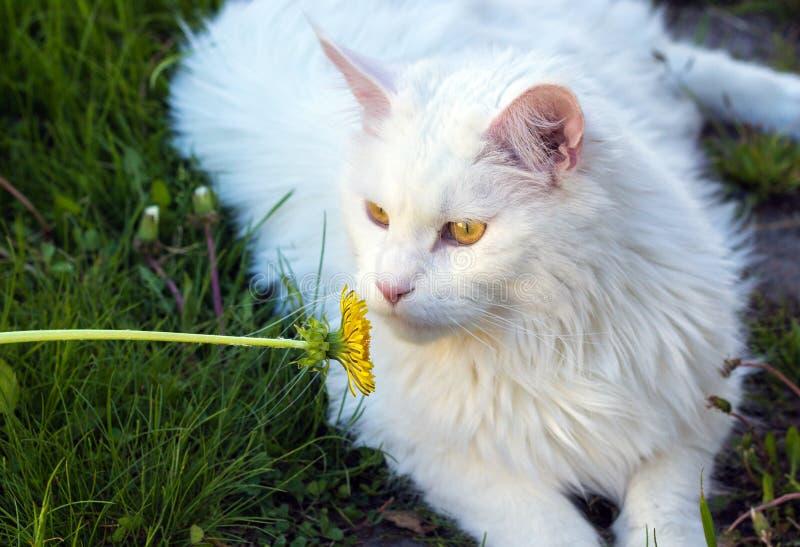 Gato blanco Maine Coon que juega en hierba verde con la flor fotos de archivo