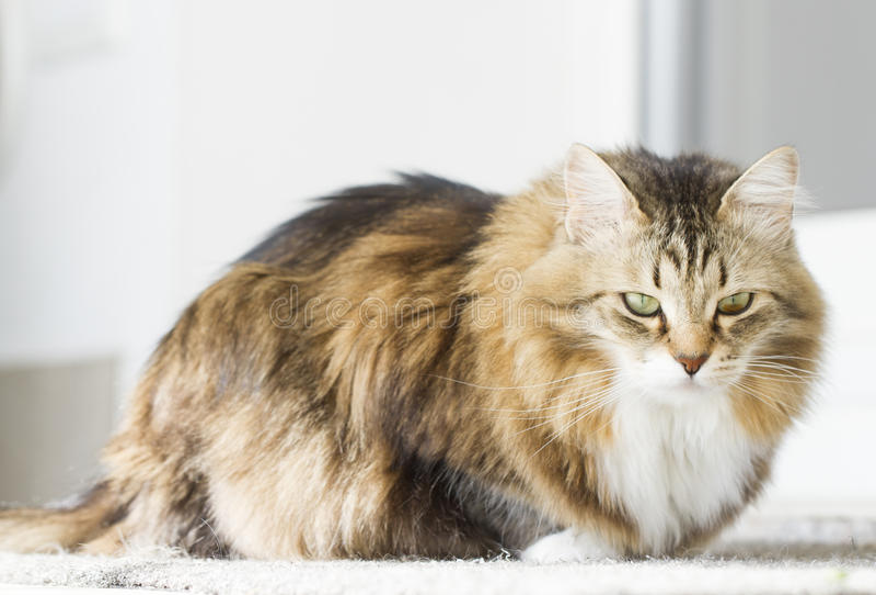 Gato blanco marrón peludo fotografía de archivo