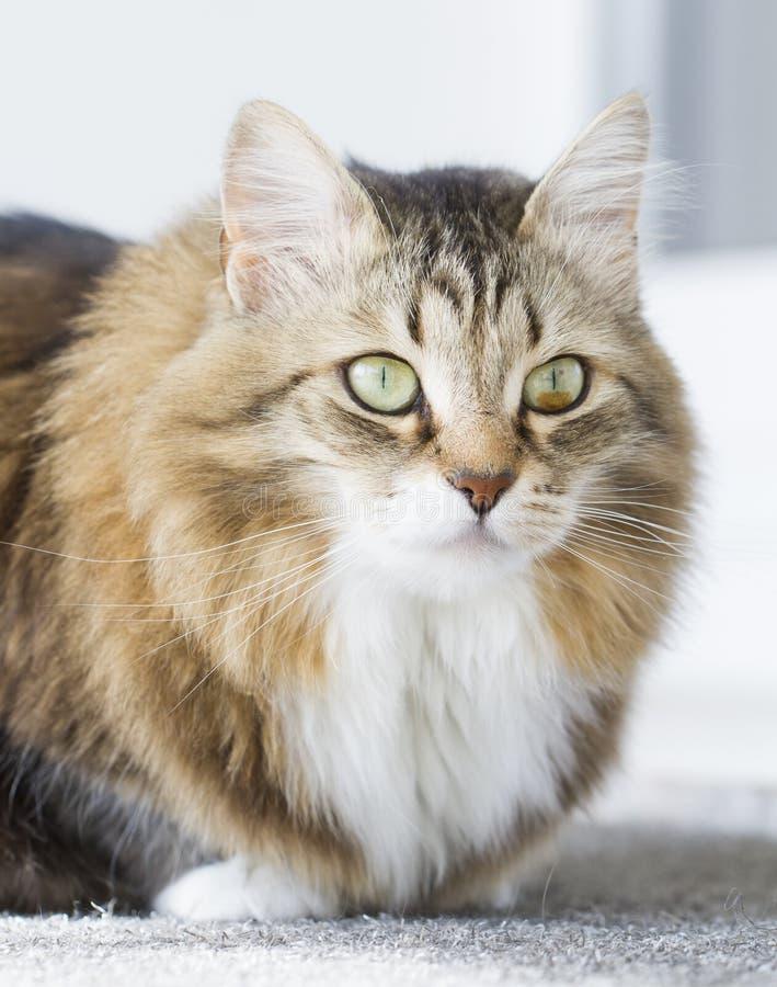 Gato blanco marrón peludo imagen de archivo