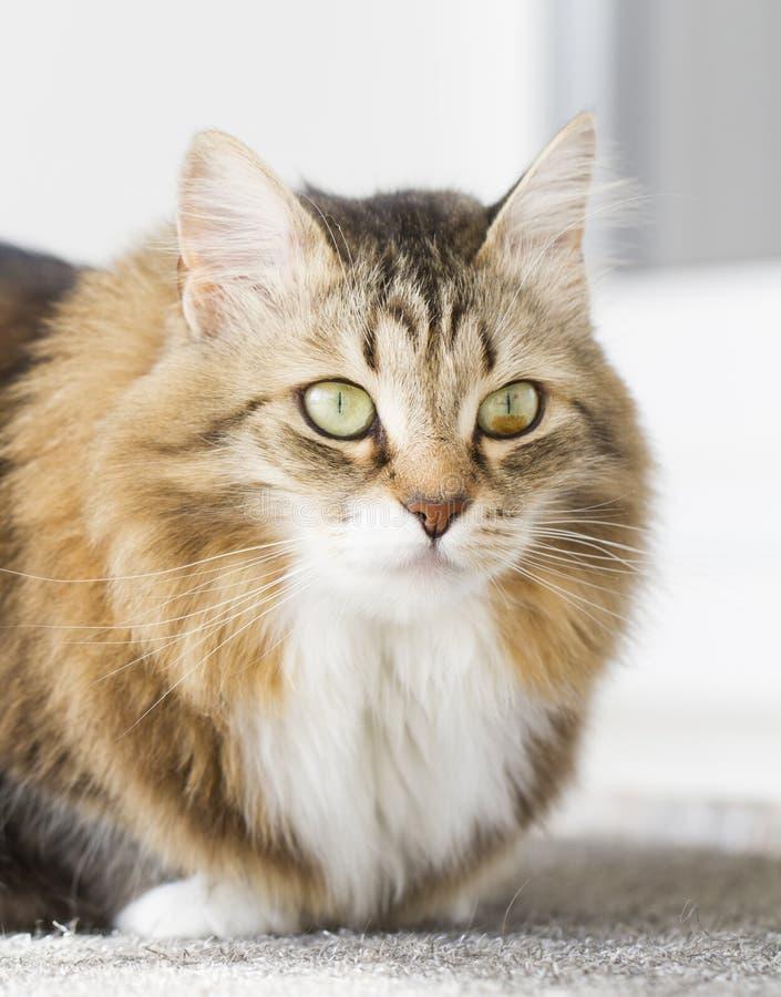 Gato blanco marrón peludo imágenes de archivo libres de regalías