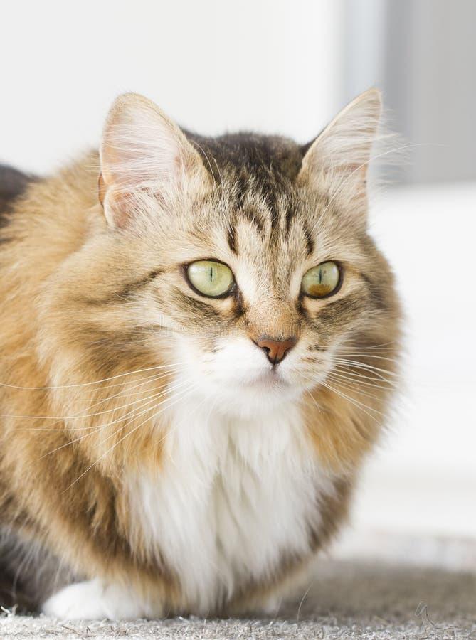 Gato blanco marrón peludo foto de archivo libre de regalías