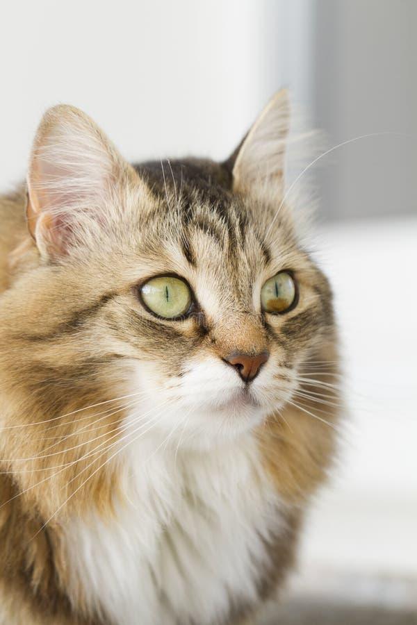 Gato blanco marrón peludo fotos de archivo libres de regalías