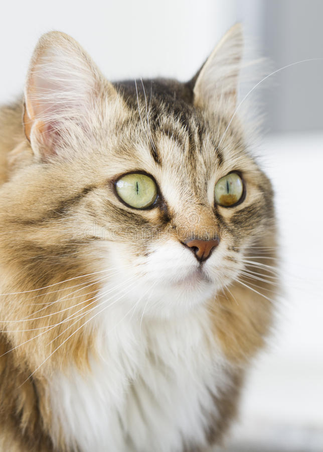 Gato blanco marrón peludo imagenes de archivo