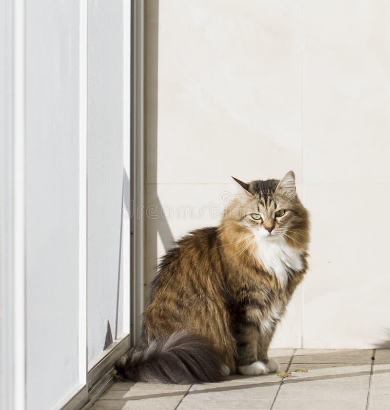 Gato blanco marrón peludo en la ventana imagen de archivo libre de regalías