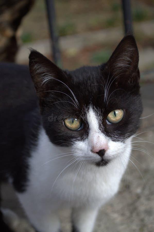 Gato blanco negro triste lindo fotos de archivo libres de regalías